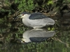 JC Knoll- Black-crowned Night Heron