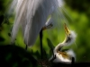Mary Angela Luzander- Great Egret with chick
