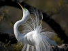 Olis Garber- Great Egret