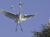 Gary Hamilton- Great Egret