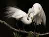 Shawn Marques- Great Egrets