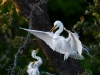 Sara Lopez- Great Egret with chick