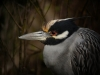 Mary Angela Luzander- Yellow-crowned Night Heron