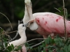 Bobby V- Roseate Spoonbill with chick