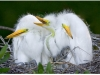 Scott Bourne- Great Egret chicks