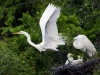 Charles Twine- Great Egret