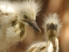 William Miller- Cattle Egret chicks