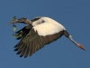 Christopher Willis- Wood Stork