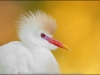 Maxis Gamez- Cattle Egret