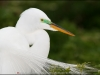 Maxis Gamez- Great Egret
