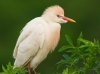 Michael Milicia- Cattle Egret