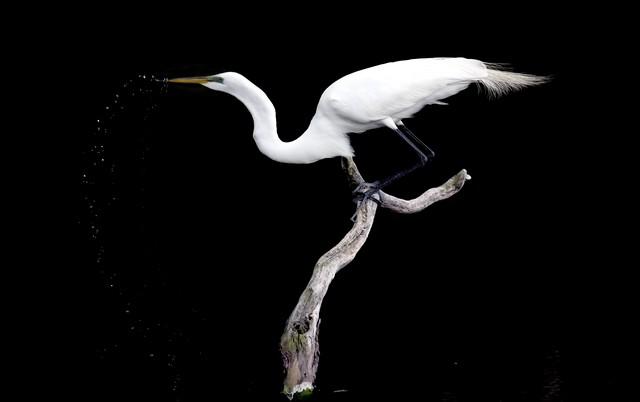 Graet Egret drinking water 15-576 E