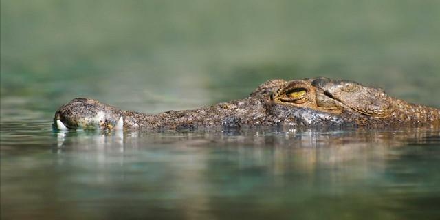 Robert van Mierop- Saltwater crocodile