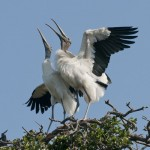 Courting Wood stork pair
