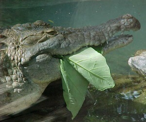 Crocodilians eating their vegetables