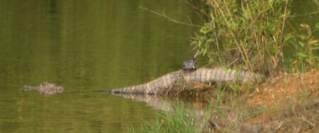Chinese Alligator with transmitter